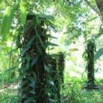 Plants de vanille dans la région de la SAVA à Madagascar